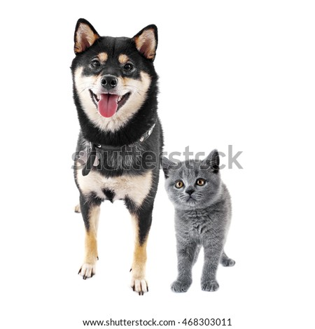 Cute shiba inu dog and adorable british shorthair kitten together on white background. Animal friendship concept.
