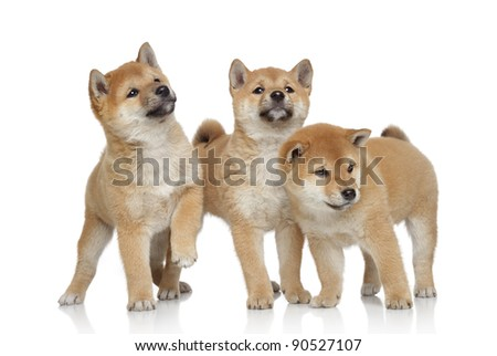Cute Shiba inu puppies are played on a white background