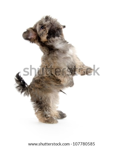 Cute shih tzu dog begging for a treat on white background - stock photo