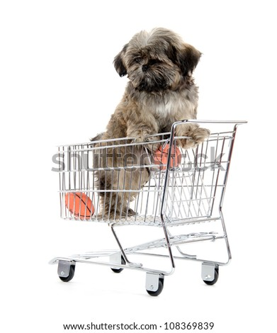 Cute shih tzu dog standing in a shopping cart on white background