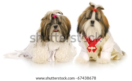 cute shih tzu puppies dress up as bride and groom on white background - stock photo