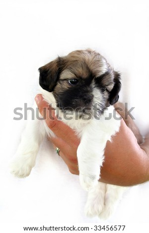 Cute Shih Tzu puppy being held by an male adult hand against a white t-shirt.  Room for your text. - stock photo