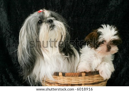 Cute Shih Tzu puppy dogs sitting in a basket.  One adult female dog and the other a 3 month old puppy. - stock photo