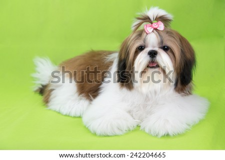 Cute shih tzu puppy is crouching on green background - stock photo