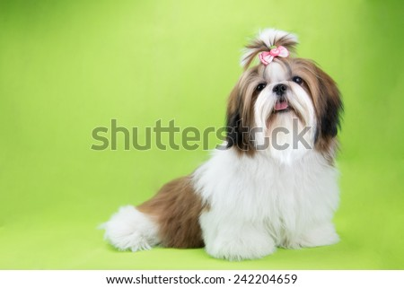 Cute shih tzu puppy is sitting on green background - stock photo