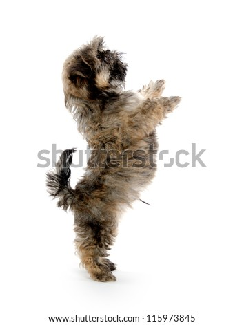 cute shih tzu puppy jumping and begging for treat on white background
