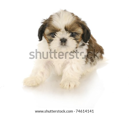 cute shih tzu puppy on white background - stock photo