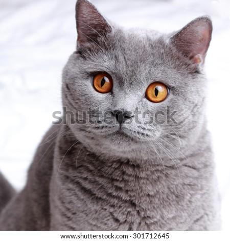 Cute short hair gray British cat - stock photo