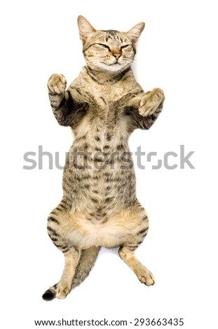 cute short hair tabby isolated - stock photo