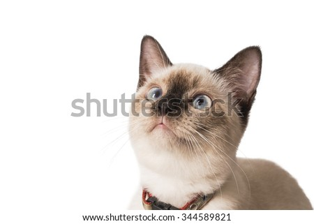 Cute Siamese Cat looking up, isolated white background