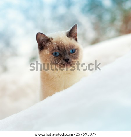 Cute siamese cat walking in the snowy forest