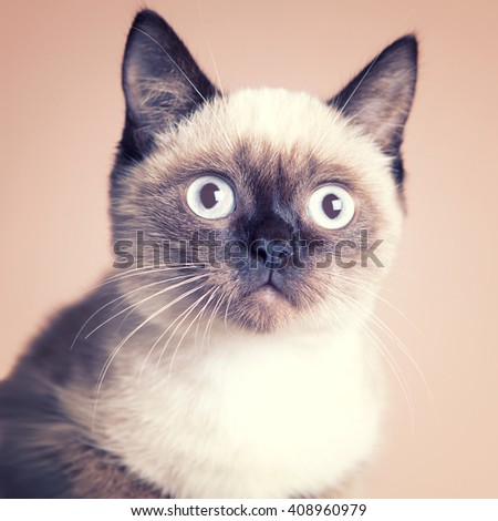 Cute siamese kitten   - stock photo