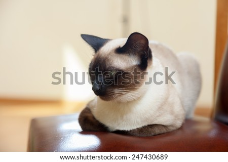 Cute Siamese kitten resting on  bed - stock photo