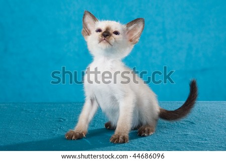 Cute Siamese kitten sitting on blue background fabric
