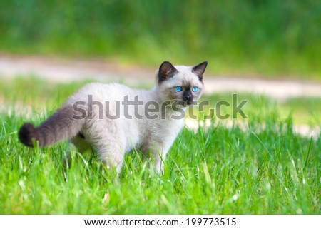 Cute siamese kitten walking on the green lawn - stock photo