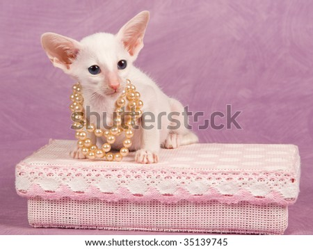 Cute Siamese kitten with string of pearls on pink gift box