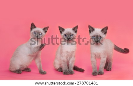 Cute Siamese Kittens on Bright Pink Colorful Background - stock photo