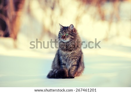 Cute siberian cat relaxing outdoors on the snow - stock photo