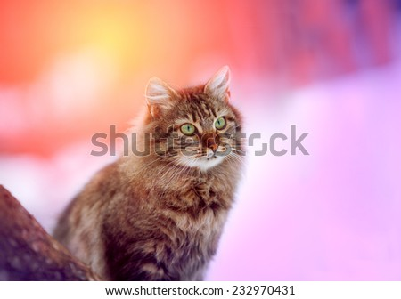 Cute siberian cat sitting outdoor in winter at magic pink sunrise - stock photo