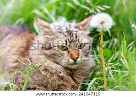 Cute siberian cat with dandelion seeds on the head walking on the grass - stock photo