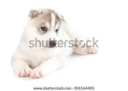 Cute Siberian husky on isolated background