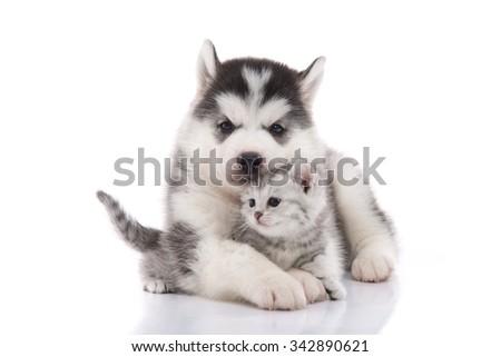 Cute siberian husky puppy  cuddling  cute kitten on white background isolated - stock photo