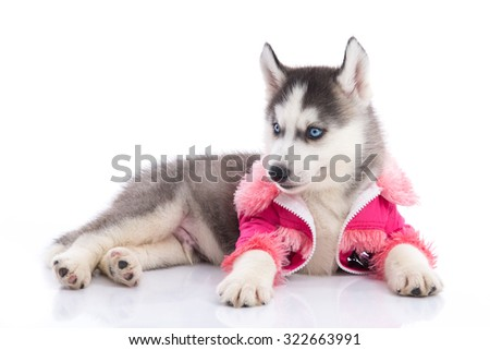 Cute siberian husky puppy in pink clothes on a white background,isolated