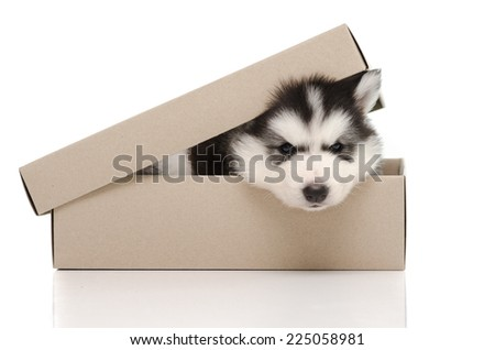 Cute siberian husky puppy insiside box white background isolated - stock photo