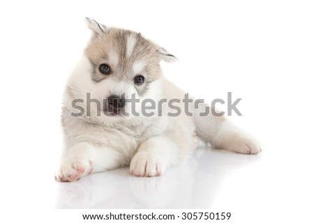 Cute siberian husky puppy lying on white background