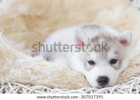 cute siberian husky puppy lying on white wicker chair - stock photo