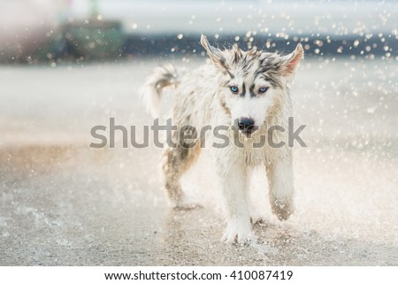 Cute siberian husky puppy running in the rain - stock photo