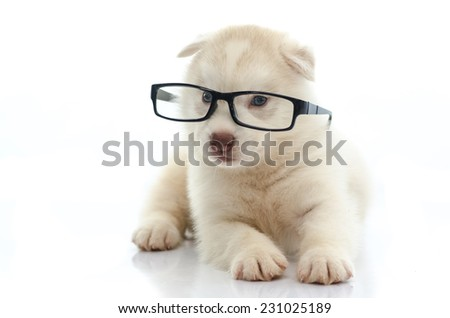 Cute siberian husky wearing glasses on white background isolated - stock photo