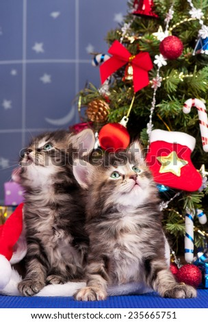 Cute siberian kittens near Christmas spruce with gifts over blue background - stock photo