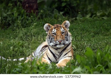 Cute Siberian Tiger Cub laying in the grass and staring at the photographer. - stock photo
