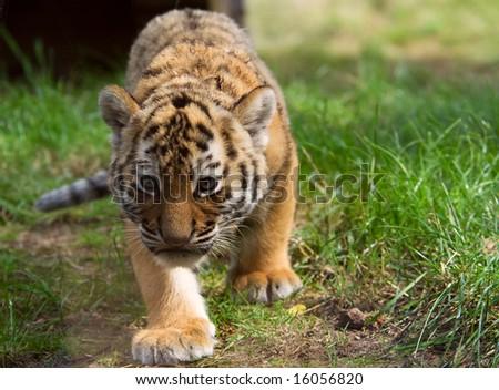 cute siberian tiger cub (Tiger Panthera tigris altaica) - stock photo