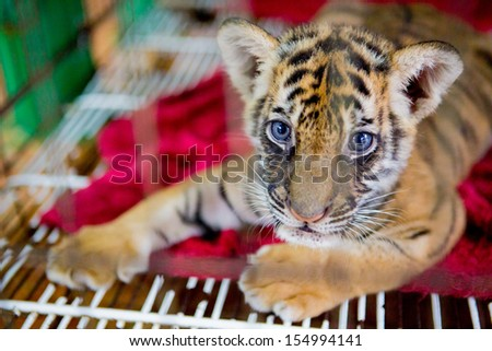 cute siberian tiger in cage  - stock photo