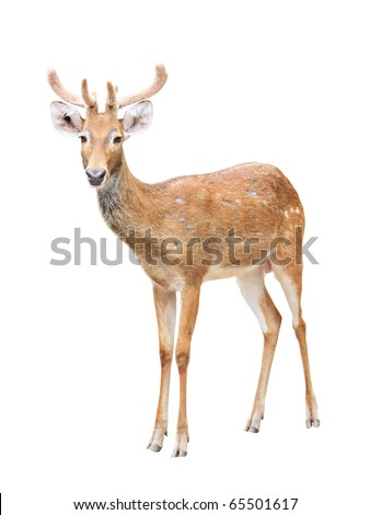 Cute sika deer at a zoo isolated on white background - stock photo