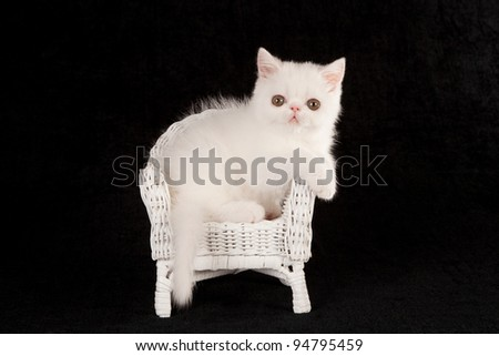 Cute Silver Chinchilla Persian kitten sitting inside large cup with white daisies on blue background - stock photo