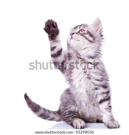 cute silver tabby cat reaching for something with its paw over white - stock photo