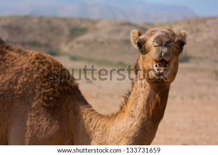 Cute single-humped camel in beautiful desert - stock photo