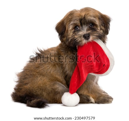 Cute sitting Havanese puppy dog is keeping a Santa hat in her mouth and waiting for Christmas. Isolated on a white background - stock photo