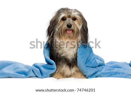 Cute sitting tricolor Havanese with blue blanket. Isolated on a white background - stock photo