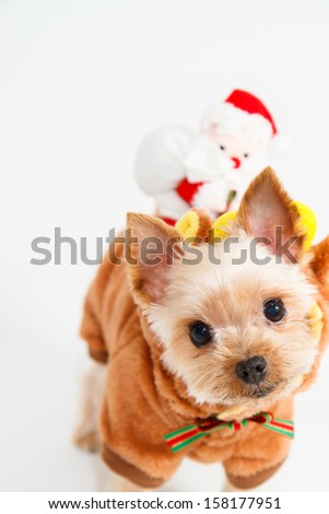 Cute sitting Yorkshire Terrier puppy dog wearing a costume of reindeer