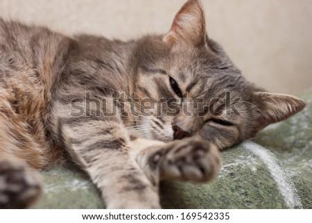 Cute sleeping gray domestic cat closeup portrait - stock photo