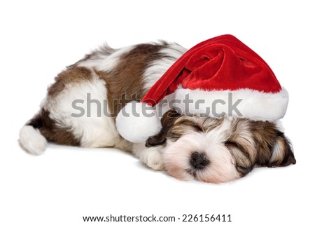 Cute sleeping Havanese puppy dog is dreaming about Christmas and wearing a Santa hat. Isolated on a white background