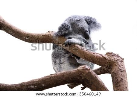 Cute sleeping koala isolated on white - stock photo