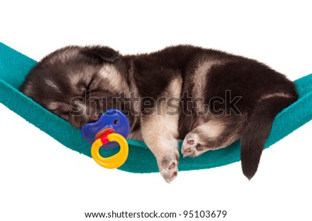Cute sleeping puppy of 3 weeks old in a hammock on a white background