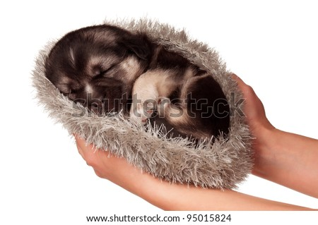 Cute sleeping puppy of 3 weeks old on a white background
