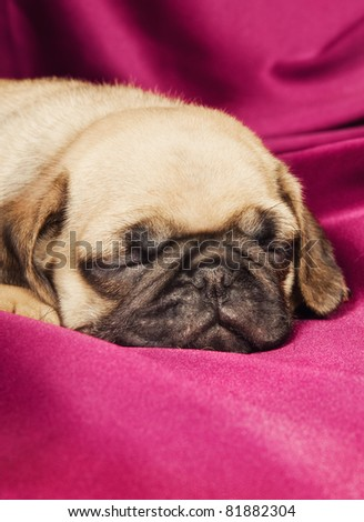 Cute sleepy beige pug puppy