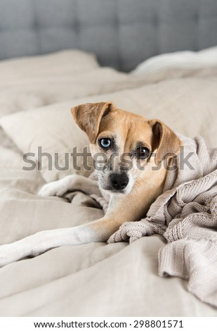Cute Sleepy Fawn Colored Terrier Mix on Bed with Linen Sheets